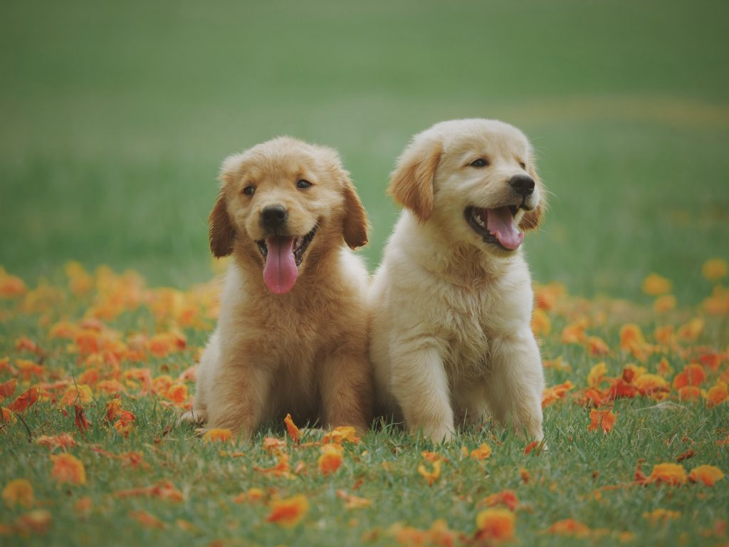 Golden Retriever Training Tips